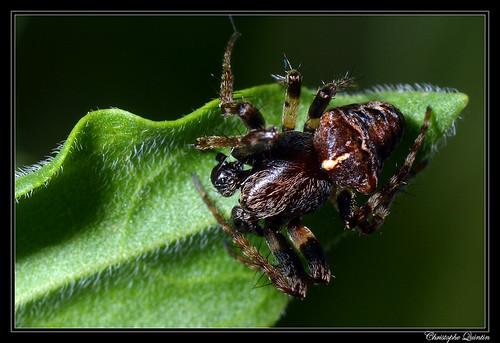Gibbaranea bituberculata mâle