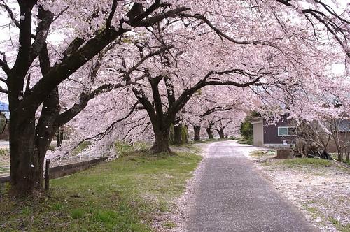 桜の花、舞い上がる道を 2014