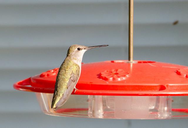 hummingbird_20140509_157