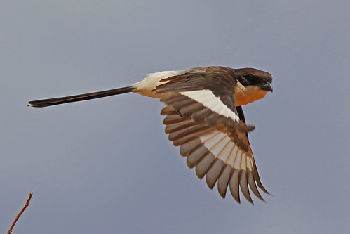 Long-tailed Fiscal in flight (AF23)
