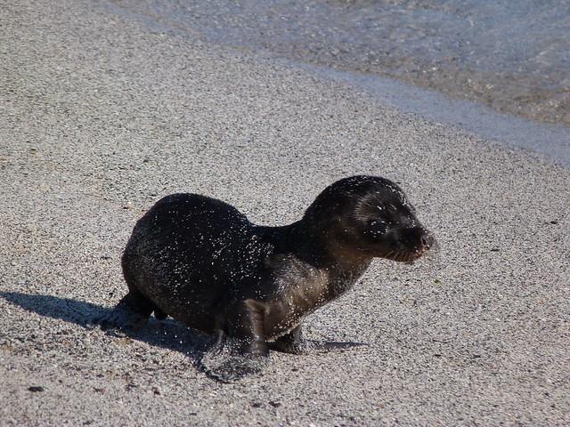 Cría de león marino en la lobería de San Cristóbal (Galápagos)