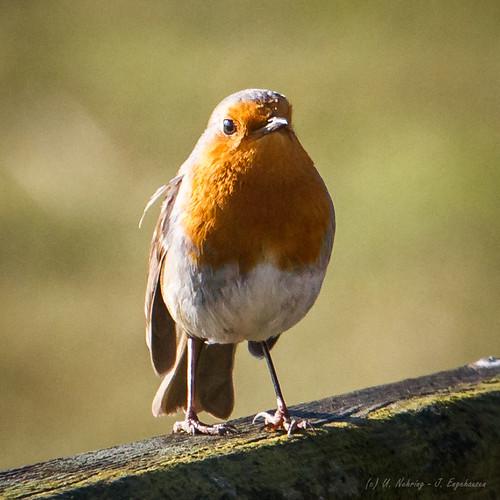 robin birds vögel rotkehlchen achimermarsch