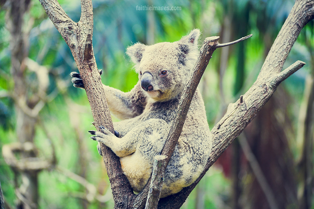 Koala looking cosy up a tree