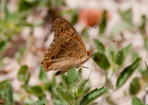animal brasil butterfly bug insect inseto borboleta fortaleza ceará animalplanet animalia borboletas junoniaevarete lepdoptera ehsn evaldonascimento evaldoheber evaldohsnascimento