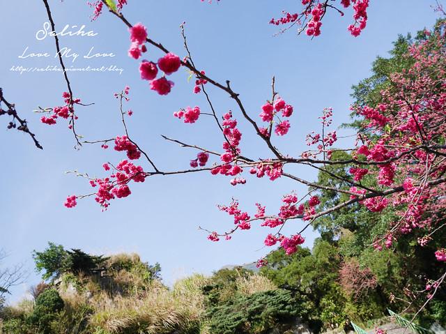陽明山賞櫻花景點水濂洞 (8)