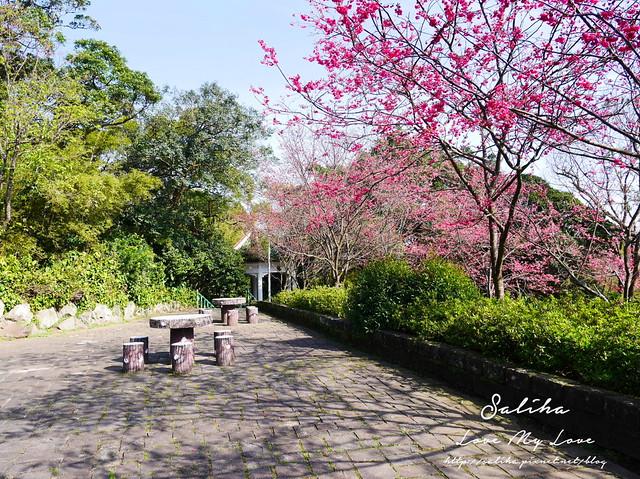 陽明山賞櫻花景點水濂洞 (6)