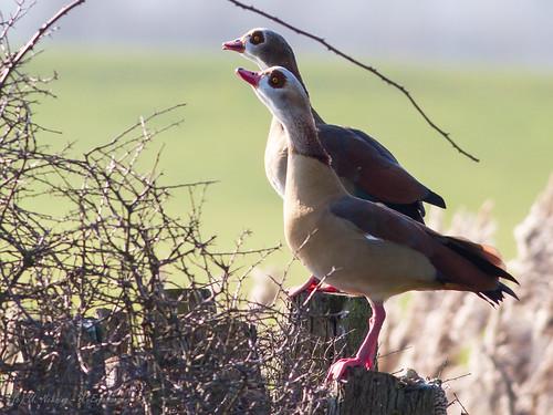 birds vögel egyptiangoose nilgans achimermarsch
