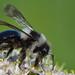 Ashy Mining Bee by Aston