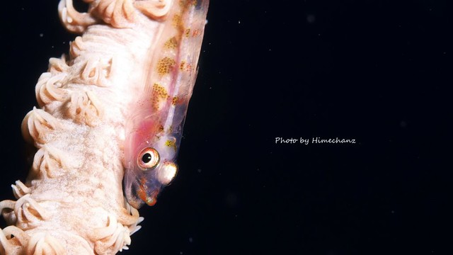 体がスケスケ過ぎでしょ!ガラスハゼ幼魚