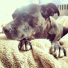 Every morning is a good one my #pitbull Mya the 4X #cancersurvivor #wonderdog on her own bed... #caninecancer #cancersucks - #vagabond