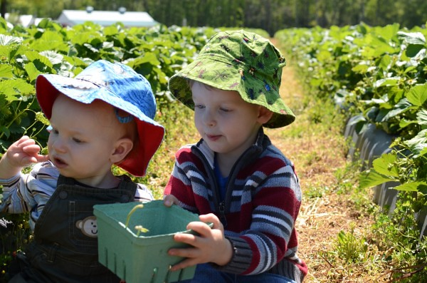 berry picking 2012