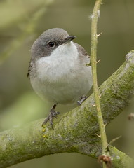 Holder_MG_0040 Lesser Whitethroat (Sylvia curruca), Brandon Marsh, Warwickshire 29 April 2013