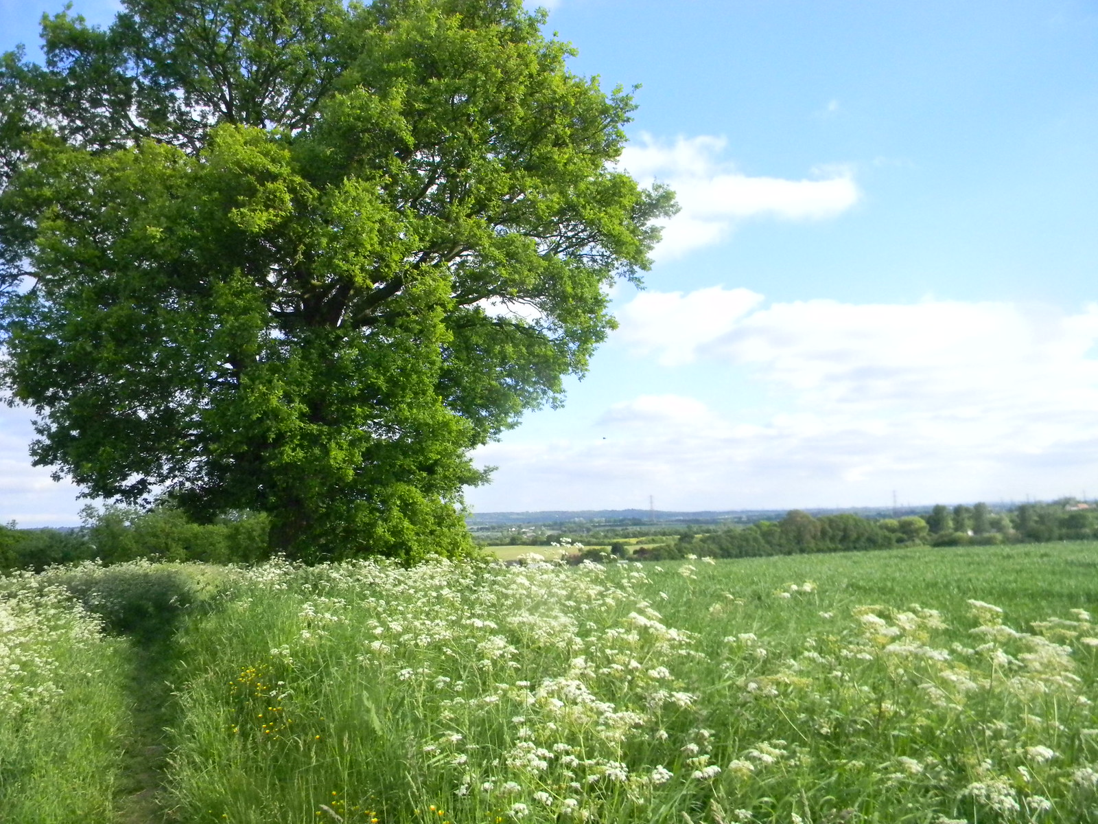 Cow parsley with view Wickford to Battlesbridge