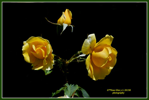 Yelow roses on black