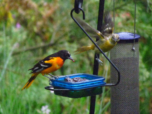 Oriole and fledgling 5:27:13
