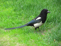 animal, fauna, beak, eurasian magpie, bird, crow-like bird,