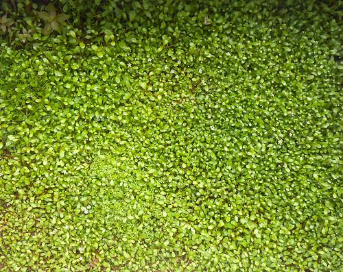グロッソスティグマ水上葉