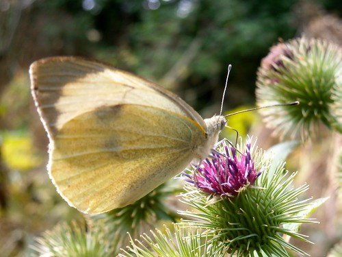 Large White, Pieris brassicae, female, on Burdock, Arctium lappa, Worcestershire 08-13