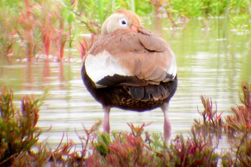 bird wildlife birding ornithology birdwatching oiseau texas2004 faune blackbelliedwhistlingduck ornithologie dendrocygneàventrenoir