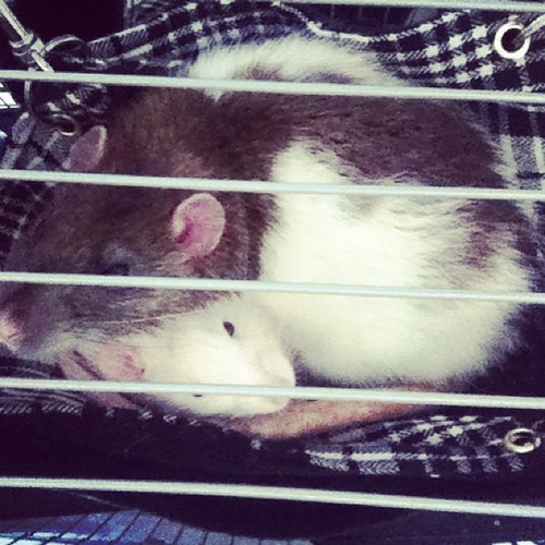 Ratty Hammock