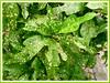 The spotted Arrowhead Croton