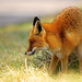Red Fox by Jambo53 (catching up)