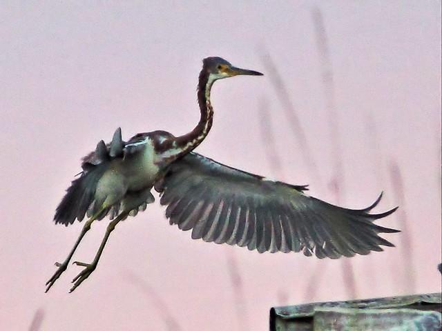 Tricolored Heron landing 01-20131020