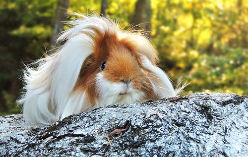 Priscilla the Peruvian guinea pig. by petlover44