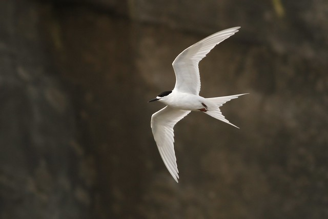 White-fronted Tern