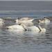Sleeping Swans_42578.jpg