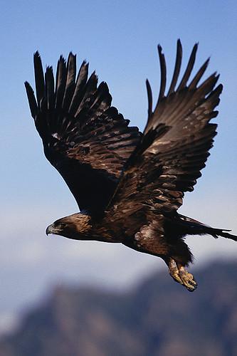 Wildlife in British Columbia, Canada: Golden Eagle (Aquila chrysaetos)