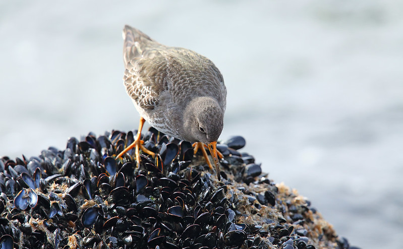 Purple Sandpiper - on mussels