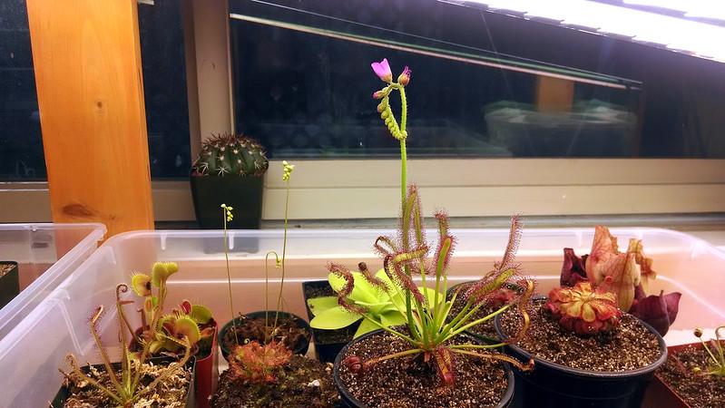 Three of my sundews flowering