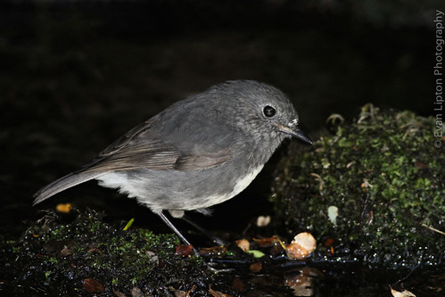 New Zealand Robin (South Island) (Toutouwai)
