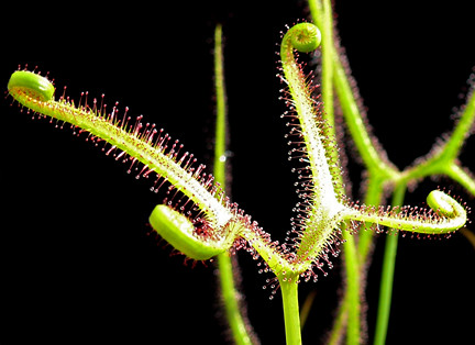 The photo of Drosera binata 'Marston Dragon' from the Cactus Jungle website