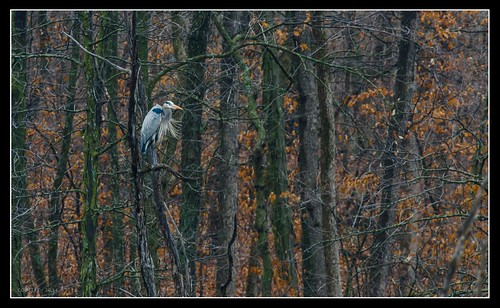 DSC_6145-AG-F - Great Blue Heron