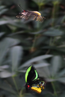 Courtship of the Cairns Birdwing, Ornithoptera euphorion