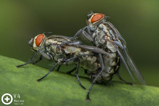 Fleshflies mating