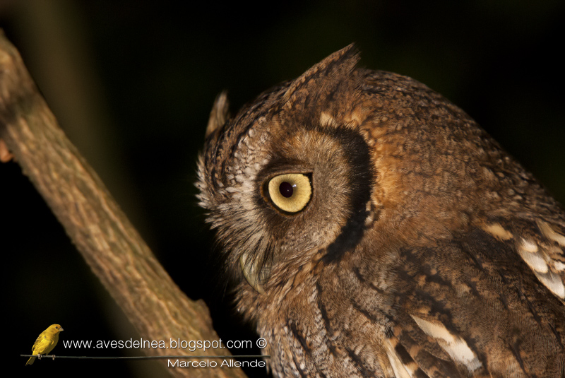 Alicucú común (Tropical Screech-Owl) Megascops choliba