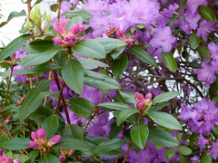 evergreen(0.0), tree(0.0), blossom(1.0), shrub(1.0), flower(1.0), rhododendron(1.0), plant(1.0),