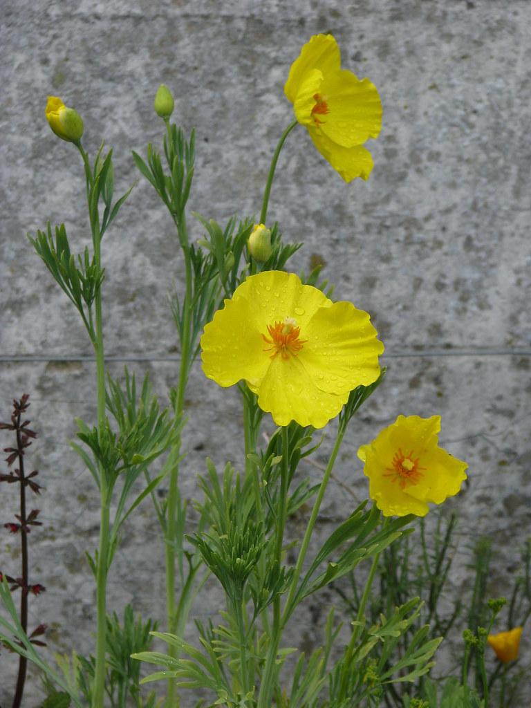 Hunnemannia fumariifolia