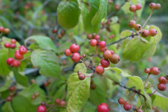 shrub, plant, produce, fruit, food, lingonberry,