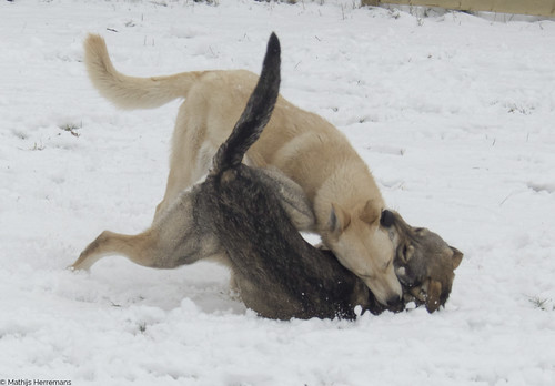 "Snowy: ""Tackle!"" Yuma: ""Nee! American Indian Dog!"""