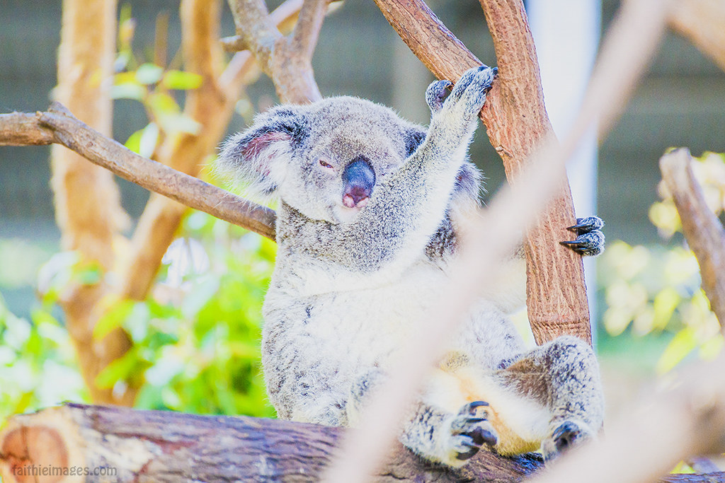 Koala bear up an eucalyptus tree looking as if blinking