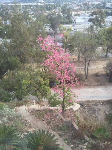 Pink floss silk tree