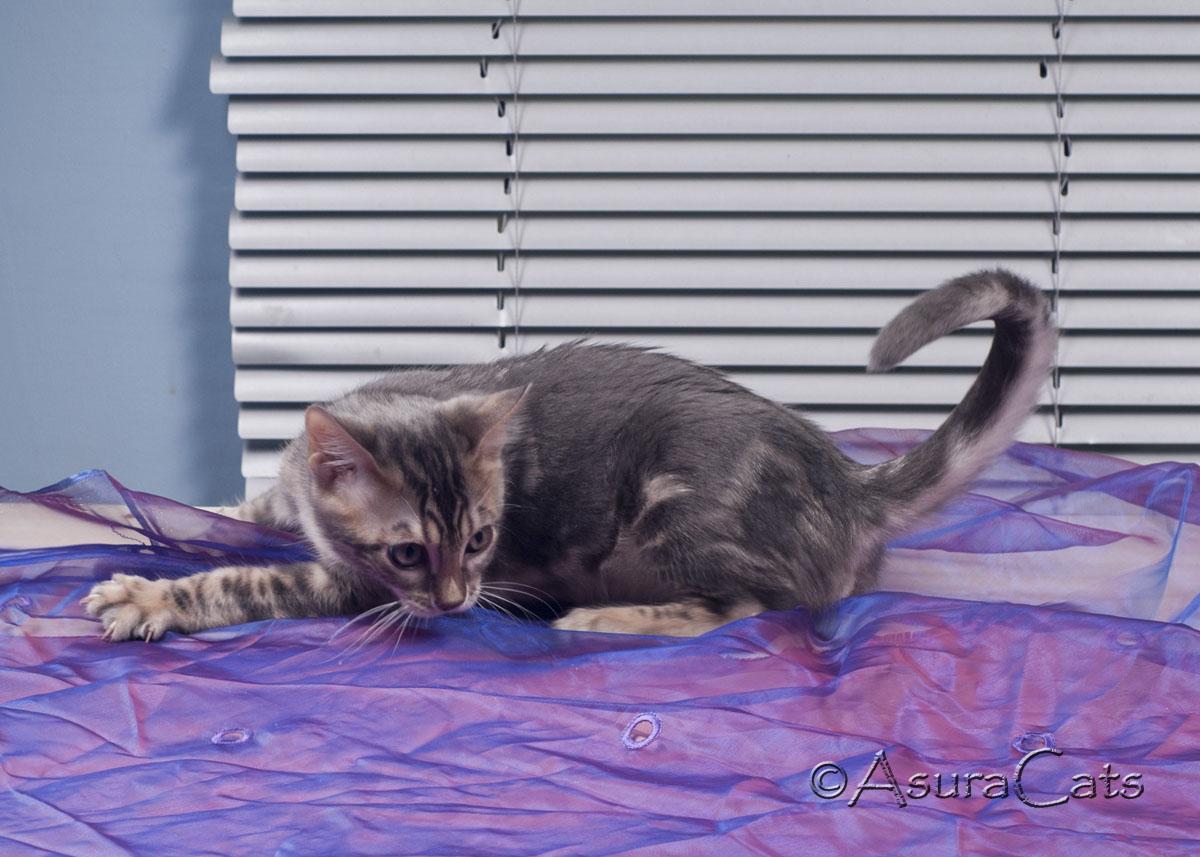 AsuraCats Panthro - Blue marble male Bengal kitten