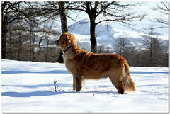 newfoundland(0.0), golden retriever(0.0), animal(1.0), dog(1.0), winter(1.0), snow(1.0), pet(1.0), mammal(1.0), nova scotia duck tolling retriever(1.0), retriever(1.0),