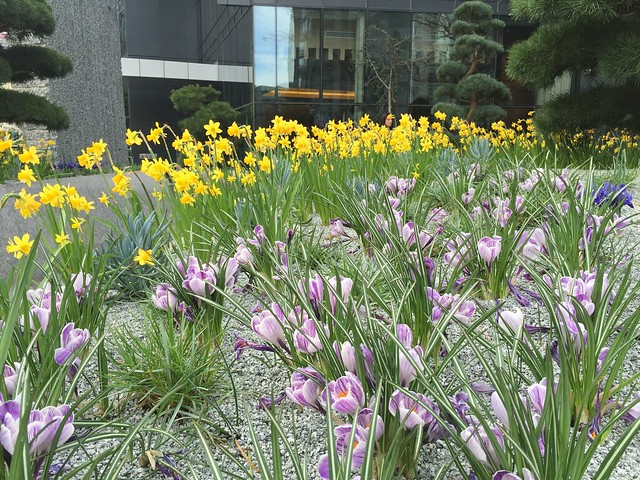 Crocus and narcissus flowers, Market Street