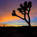 Josha Tree at sunset