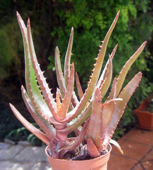Aloe erythrophylla 16463724966_4e30ec8da8_o
